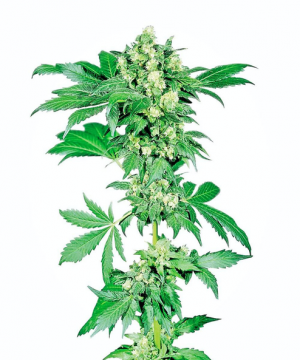 afghani 1 feminized xl