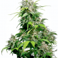 california indica feminized xl