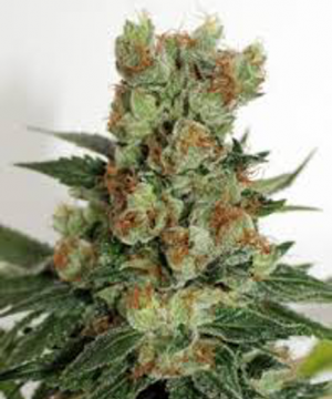 fuel o.g. ripper seeds