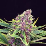 purple-kush-kannabia-seeds