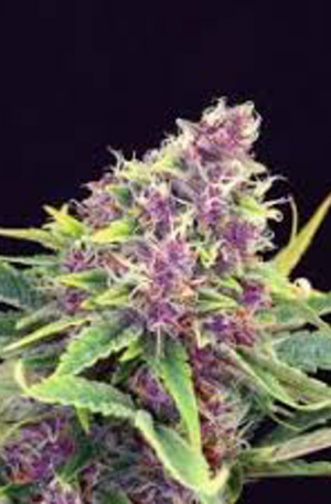 purple kush kannabia seeds