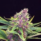 purple kush kannabia seeds