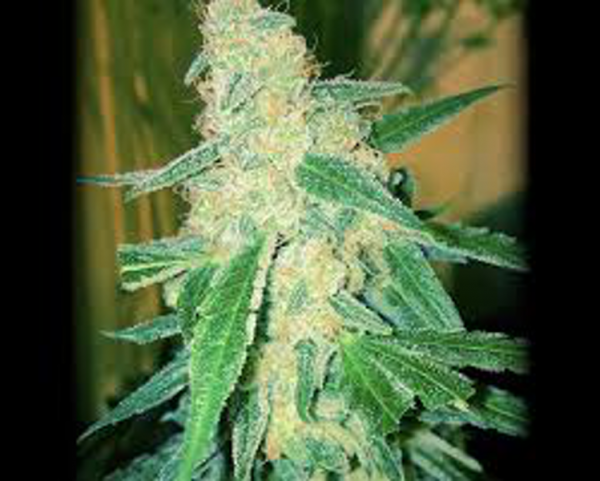 wipeout express auto heavyweight seeds