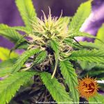blue-cheese-auto_6_140918