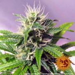 blue-cheese-auto_8_140918