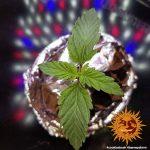 cookies-kush_1_209684