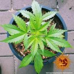 pineapple-express-auto_2_215368 (1)