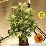 pineapple-express-auto_4_215368 (1)
