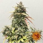 pineapple-express-auto_6_245291 (1)