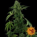 pineapple-express-auto_8_245292 (1)