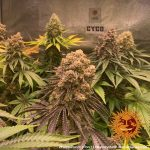 purple-punch_9_250386