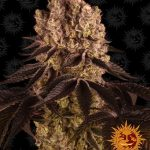 purple-punch_circle_new_12_035141